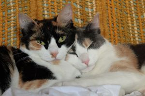 1024px-Calico_and_dilute_calico_cats
