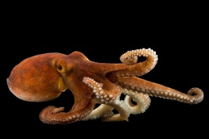 Common octopus (Octopus vulgaris) at Gulf Specimen Marine Lab and Aquarium.